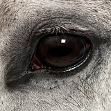 Close-up of an Andalusian eye, 7 years old, also known as the Pure Spanish Horse or PRE