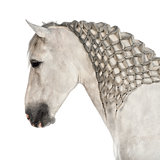Close-up of a Male Andalusian with plaited mane, 7 years old, also known as the Pure Spanish Horse or PRE against white background