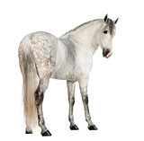 Rear view of a Male Andalusian, 7 years old, also known as the Pure Spanish Horse or PRE, looking back against white background
