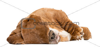 Basset Hound lying and sleeping with its ears hiding its eyes, i