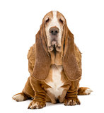Old Basset Hound sitting and looking at the camera, isolated on