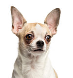Close-up of a Chihuahua (2 years old), isolated on white