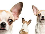 Close-up of Chihuahuas (2 years old), isolated on white