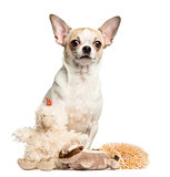 Chihuahua (2 years old) sitting behind stuffed toys, isolated on