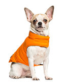 Chihuahua (2 years old) sitting and wearing an orange coat, isol