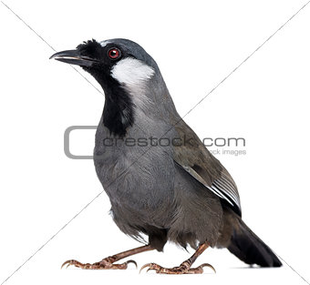 Black-throated Laughingthrush - Garrulax chinensis - isolated on