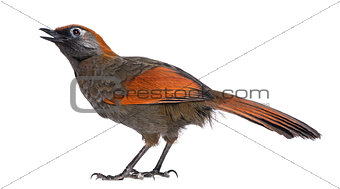 Back view on a Red-tailed Laughingthrush tweeting, looking up -