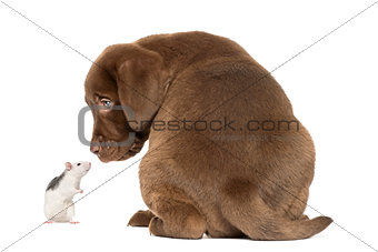Back view of a Labrador Retriever Puppy and husky rat looking at