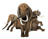 Front view of three African elephants performing, isolated on wh