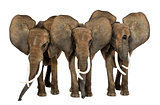 Front view of three African elephants facing, standing, isolated