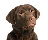 Close-up of a chocolate labrador, 7 months old, isolated on whit