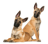 Two Young Belgian Shepherds sitting and lying down, 5 months old