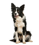 Border Collie, 1 year old, sitting and panting, isolated on whit