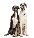 Two Great Danes sitting and looking away, 1 year old,  isolated