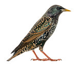 Side view of a Common Starling, Sturnus vulgaris, isolated on wh