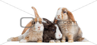 Group of Satin Mini Lop rabbits, isolated on white