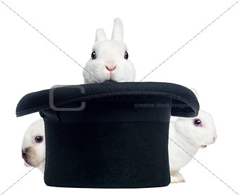 Three mini rex rabbits appearing from a top hat,