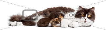 British Longhair lying, breastfeeding its kittens, isolated on w