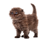 Highland fold kitten standing, looking upwards, isolated on whit