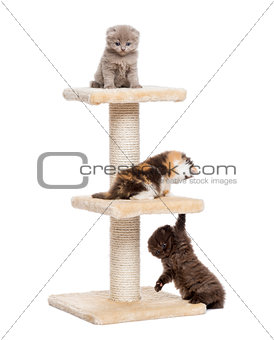 Three Highland fold or straight kittens playing on a cat tree, i