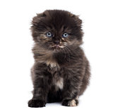 Front view of a Highland fold kitten looking at the camera, isol