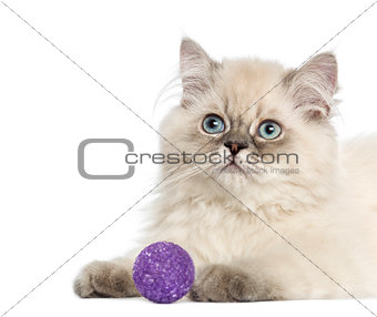 Close up of a British Longhair kitten with purple ball, 5 months