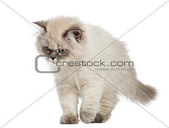 British Longhair kitten walking, looking down, 5 months old, iso