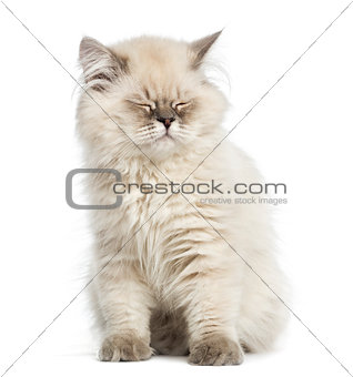 British Longhair kitten, sitting, eyes closed, isolated on white