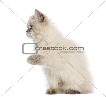 British Longhair kitten pawing up, 5 months old, isolated on whi