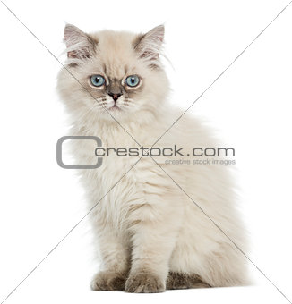 British Longhair kitten sitting, lloking at the camera, 5 months