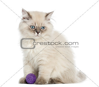 British Longhair kitten sitting with a ball, 5 months old, isola