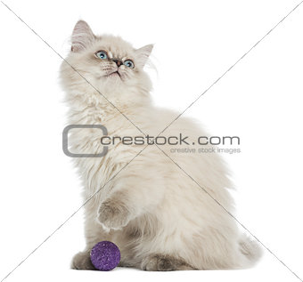 British Longhair kitten sitting with a ball, looking up, 5 month