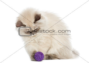 British Longhair kitten playing with a ball, 5 months old, isola
