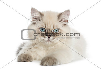 British Longhair kitten lying, looking at the camera, 5 months o