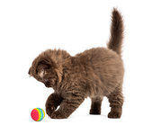Highland fold kitten standing, playing with a ball, isolated on