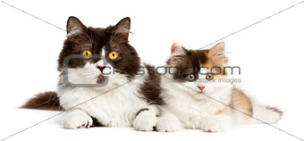 British longhair and highland straight kitten lying together, is