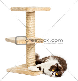 British longhair lying down at the foot of a cat tree, isolated