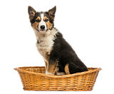 Side view of a Border collie sitting in a wicker basket, isolate