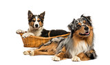 Border collie and Australian shepherd lying down, isolated on wh