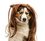 Close-up of a Border collie with a wig, isolated on white