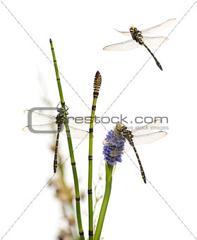 Group of Cordulegaster bidentata landed on a plant, isolated on
