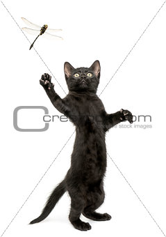 Black kitten standing on hind legs and trying to catch a dragonf