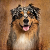 Close-up of an Australian shepherd blue merle, panting, 4 years