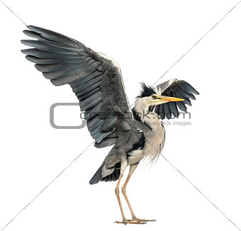 Grey Heron doing a mating dance, Ardea Cinerea, 5 years old, iso