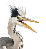 Close-up of a Grey Heron upset, screaming, Ardea Cinerea, 5 year