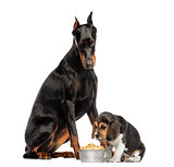 Doberman Pinscher sittingand looking down at a beagle puppy eati