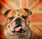 Close-up of an English Bulldog panting on a vintage UK flag back