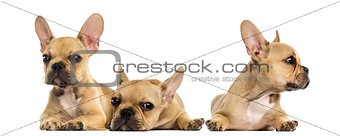 Three French bulldog puppies lying