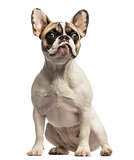 French Bulldog sitting, looking up, isolated on white