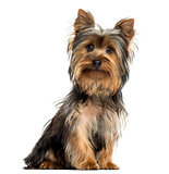 Yorkshire terrier sitting, looking at the camera, isolated on wh